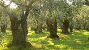 Olive wood trees
